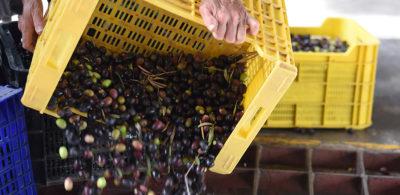 Campaña recogida Oliva en Cooperativa agrícola de Petrer